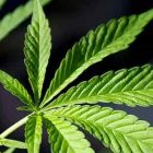 How to Save Marijuana Seeds Without Losing Their Properties?